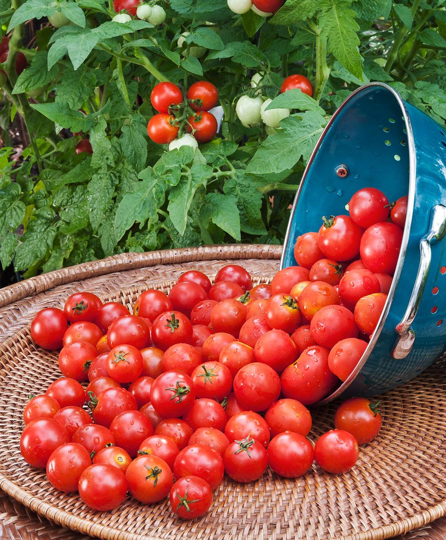 بذر گوجه گیلاسی قرمز |