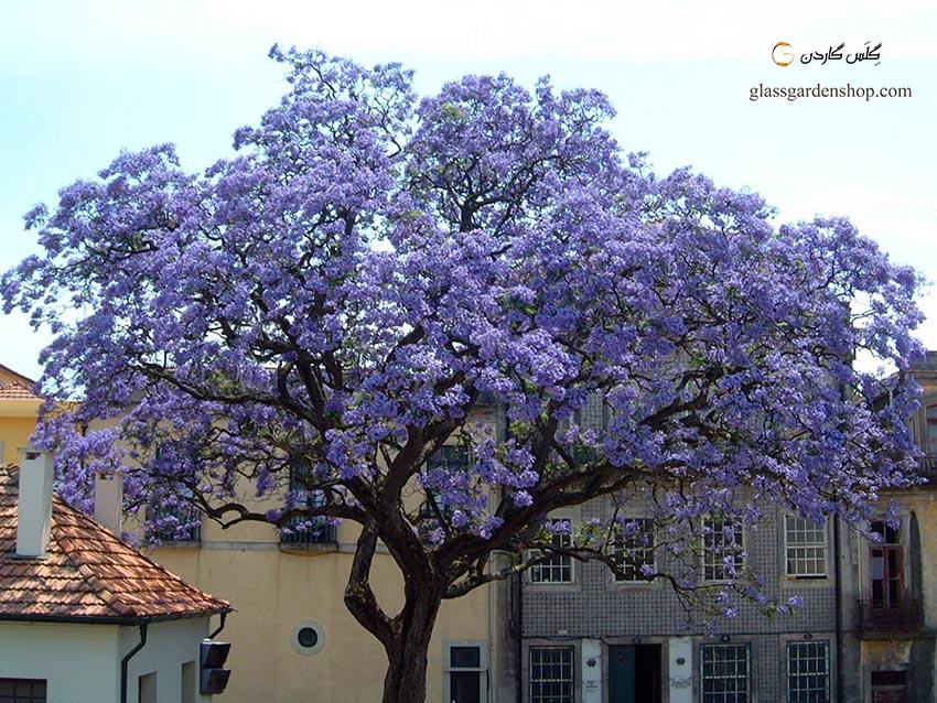 معرفی درخت پالونیا و ارقام آن Paulownia - گلس گاردن