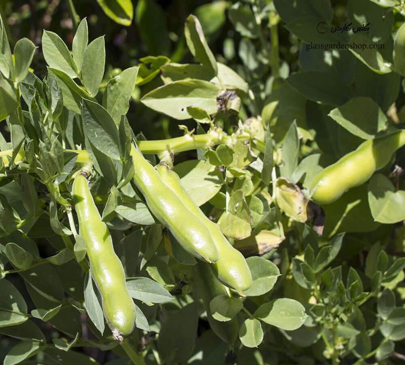 بذر باقالا سبز (Vicia faba) - گلس گاردن