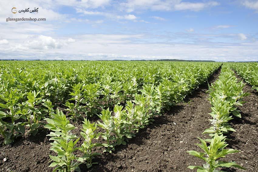 خرید بذر باقالا سبز (Vicia faba) - گلس گاردن